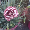 Picture of Dianthus Angel of Forgiveness