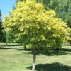 Picture of Fraxinus Green Glow