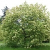 Picture of Fraxinus Ornus