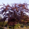 Picture of Gleditsia Ruby Lace