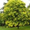 Picture of Koelreuteria paniculata