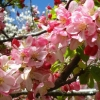 Picture of Malus Crabapple Floribunda H/W 1.5