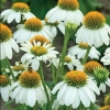 Picture of Echinacea Pow Wow White