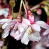 Picture of Prunus Autumnalis Rosea HW 1.7m