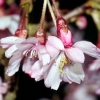 Picture of Prunus Autumnalis Rosea HW 1.5m