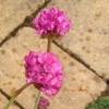 Picture of Armeria Lollipop Pink