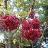 Picture of Sorbus Ghose