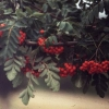 Picture of Sorbus Scarlet King