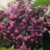 Picture of Syringa Purple Glory