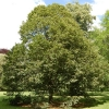 Picture of Tilia Platyphyllos