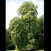 Picture of Tilia Petiolaris