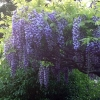 Picture of Wisteria Eds Blue Dragon