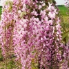 Picture of Wisteria Pink Ice