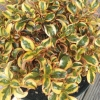 Picture of Coprosma Golden Star