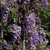 Picture of Wisteria Lavender Lace