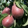 Picture of Pear Starkrimson QN