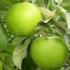 Picture of Apple Granny Smith (M793)