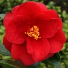 Picture of Camellia Royal Velvet