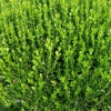 Picture of Buxus Macrophylla