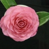 Picture of Camellia Sunsong