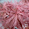 Picture of Acer Stella Rossa