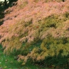 Picture of Acer Flavescens