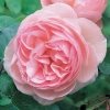 Picture of Heritage-Rose