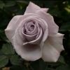 Picture of Hi Ho Silver-Rose