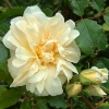 Picture of Jenny Wren-Rose