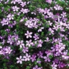 Picture of Acmadenia Star Blush