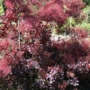 Picture of Cotinus Velvet Cloak
