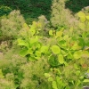 Picture of Cotinus Golden Spirit