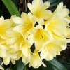 Picture of Clivia Yellow