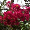 Picture of Lagerstroemia Indica St Emillion
