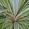 Picture of Cordyline Albertii