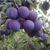 Picture of Plum Victory