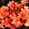 Picture of Heuchera Paprika