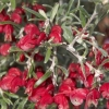 Picture of Grevillea Red Cloud