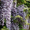 Picture of Wisteria Black Dragon