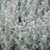 Picture of Stachys Lanata
