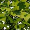 Picture of Liriodendron T. Aureomarginatum