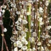 Picture of Salix Kilmarnock Std 1.7