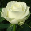 Picture of Avalanche Std 80cm-Rose