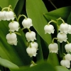 Picture of Convallaria majalis