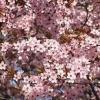 Picture of Prunus Pissardi Nigra
