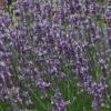 Picture of Lavender Super