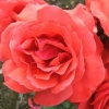 Picture of Fragrant Cloud-Rose