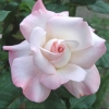 Picture of Pristine-Rose
