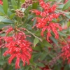 Picture of Grevillea Lady O