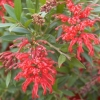 Picture of Grevillea Lady O Std